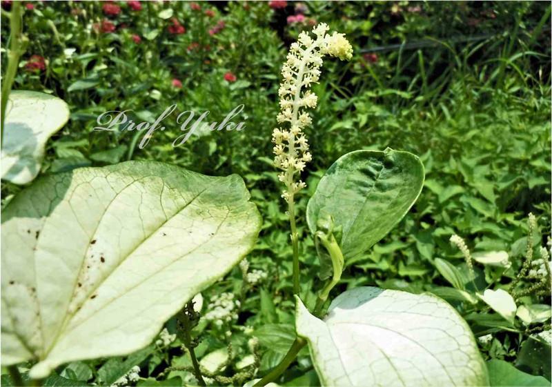 植物園のハス池ではハスの横に半夏生が また林にはヒロハコンロンカの