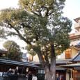 s晴明神社6:神木のクスノキ