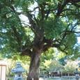 h平野神社4:神木