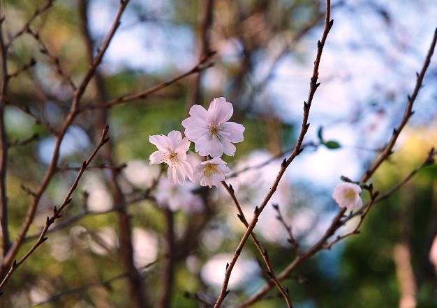 h平野神社8:寒桜