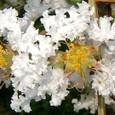 サルスベリ2の花