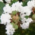 サルスベリ3の花
