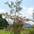 サルスベリ5の木(ピンク色)