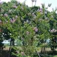 サルスベリ9の木(紫色)