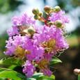 サルスベリ10の花(紫色)