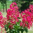 サルスベリ7の木(赤色)