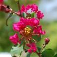 サルスベリ8の花(赤色)