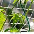 フウセンカズラ2:可憐な淡緑白色の花