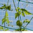 フウセンカズラ3:風船型の果実