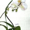 ファレノプシス(白)