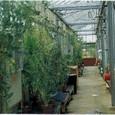 イギリス1:13 HRIの本場ウォ-イックにあるブラシカ育種用のガラス温室