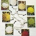 イギリス1:11 イタリアにおける多様なカリフラワ-とブロッコリ-の品種群を示す展示