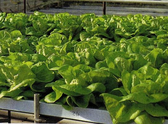イギリス1:14 HRIの支場リトル・ハンプトンにおける養液耕のサラダナ