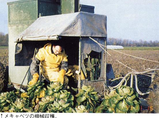 オランダ7:メキャベツの機械収穫