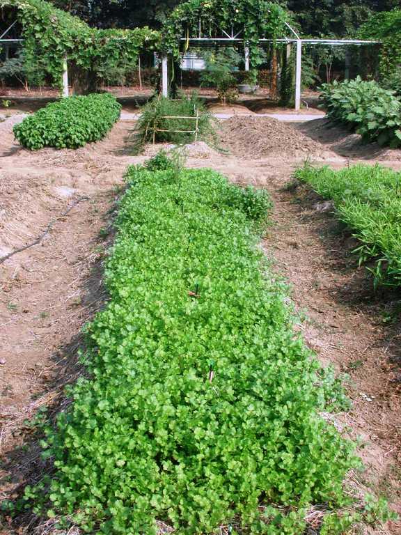 タイ1:コリアンダー育苗
