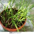chaチャイブ1の鉢植え