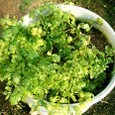 korコリアンダー3の鉢植え栽培