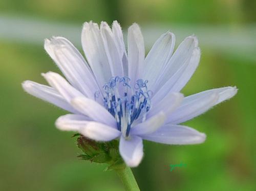 chiチコリ2の花
