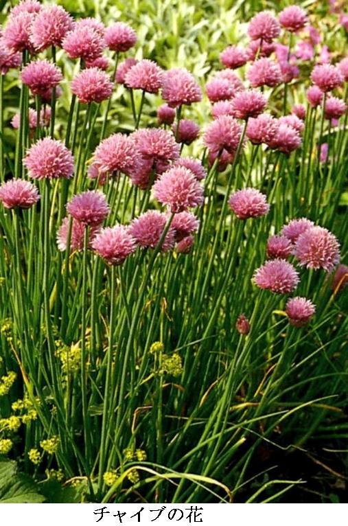 chaチャイブ2の花