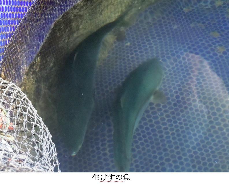 t徳島・びんび屋7:生けすの魚