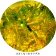 メダカ10:子メダカ