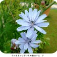 チコリ21の花
