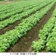 ナバナ2:ナバナ畑