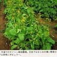 サイシン1:中国・天津でのサイシン栽培