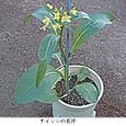 サイシン4:サイシンの花序