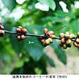 コーヒーの成熟してきた果実